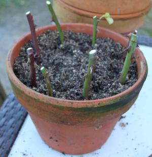 Photo pot avec boutures, lebonjo.com, rdv au potager, jardinage, jobber, à domicile, aide au jardinage, astuce, en hiver